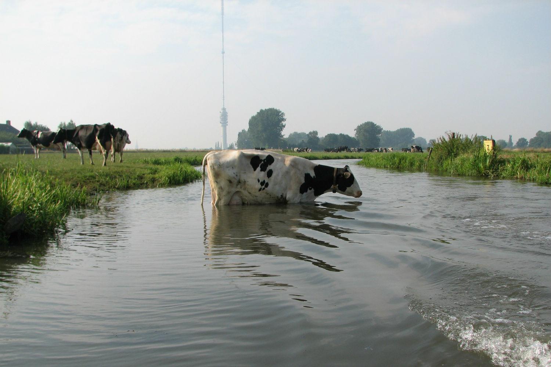 Zoetwaterkoe: Ellen van der Waal (Fotowedstrijd IJsselstein 2006)